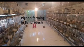 A PIGEON FARM  IN Dhaka HD