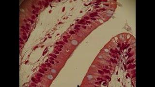 Copy of Histology of Digestive, Respiratory & Circulatory Systems; Anatomy; Professor Fink