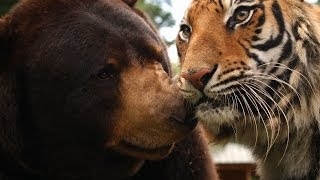 The lion, tiger and bear family - Animal Odd Couples: Episode 1 Preview - BBC One