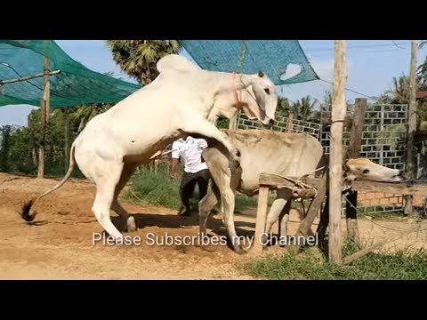 How To Breds Cows in Cambodia Amazing man breeds cows Kỹ Thuật Phối Giống Bò