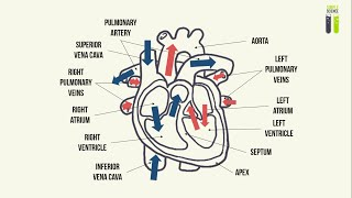 IGCSE Biology Revision - Part 7 - The Structure & Functioning Of The Heart