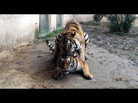 YES WE CAN Sibirische Tiger Aljoscha und Alexa Leopard Berber Löwe