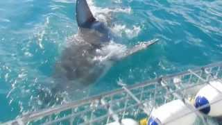 Shark Cage Diving Hermanus South Africa