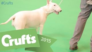Bull Terrier - Best of Breed and Winner's Interview| Crufts 2015