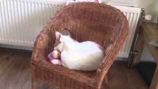Lisa cat with catnip toy acting strange