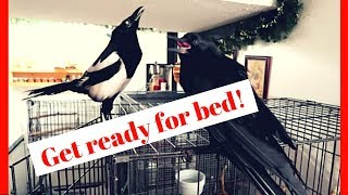 Magpie Tells Pet Crow To Get Ready For Bed