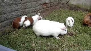 Porquinho da India filhotes com 17 dias