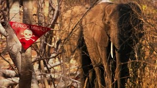 Elephants Sniffing Out 10 Million Landmines | The Long Walk Home | BBC Earth