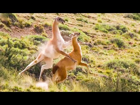 Best of South American Animals Top 5 BBC Earth