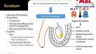 অন্ডকোষ ঝুলে ও কুচকায় কেনো । Temperature regulation in testis। Male reproductive organ bangla
