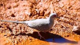 الحمام القزم الماسي Diamond Dove