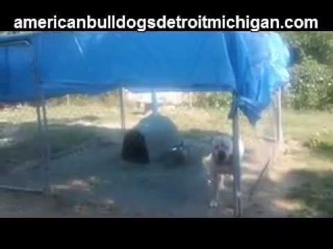 How to Stud Your Dog American Bulldogs