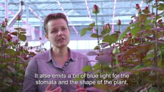 Growing roses with Philips LED lighting (English subtitles)