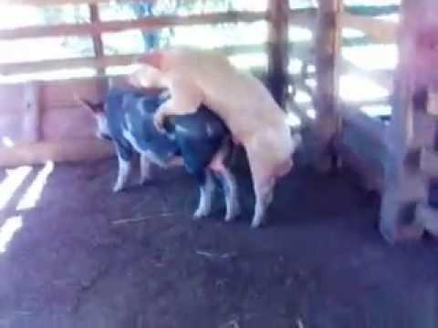 Xxx Mp4 Porco E A Porca O Amor E Lindo 3gp Sex