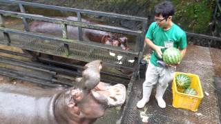 Download Hippo Family Eating Watermelons&Baby hippo @Nagasaki Japan 3Gp Mp4