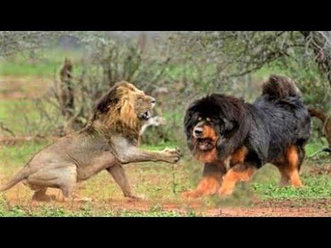 Tibetan Mastiff Monster with Lion s Blood