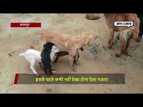 Xxx Mp4 VIDEO बकरी के बच्चों को दूध पिलाती है ये कुतिया 3gp Sex