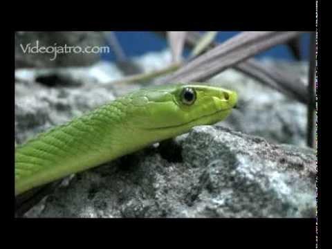 Green Mamba 01 Deadly Venomous Snakes