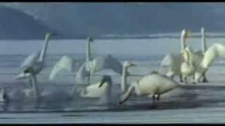 PANCHHI BANU UDTI PHIROON-Lata-Chori Chori-Shankar Jaikishan-Baba Murli Song.