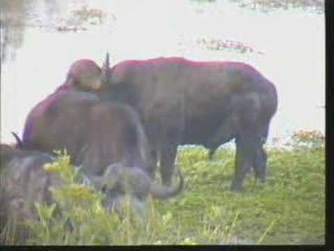 Cape Buffalo Gowrie