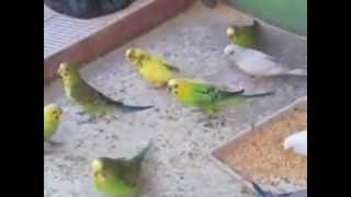 طيور الحب العراقية 2012