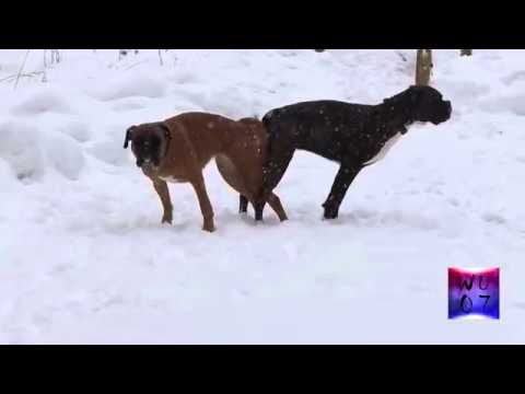 Safest Boxer Dog Sex After Vasectomy Part 1 2 360p via Skyload