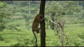 Beautiful Leopard video Valparai - RaGu ♥