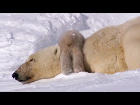 Polar Bear Cubs Take Their First Tentative Steps - Planet Earth - BBC Earth