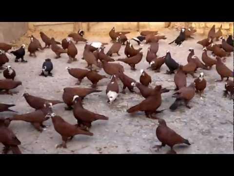 طيور خميس ابو حيدر اجكوك