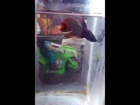 Xxx Mp4 Red Simesh Fighter Fish 3gp Sex