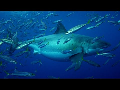 20 Foot Megashark Filmed in Mexican Waters