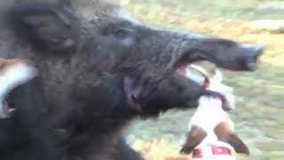 Jack Russell vs Giant Wild Boar Hog, Little Dog Fights Big Hog
