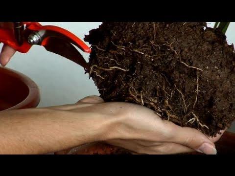 Cómo resucitar una planta podrida por exceso de agua