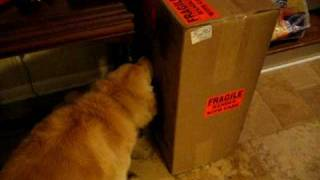 Dog licking a cardboard box for 2 minutes
