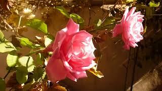 زراعة واكثار الورد الجوري الزهر ي How To Grow Roses From Cuttings
