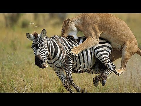Lion vs Zebra Fight