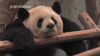 Panda Mao Mao Sleeps on the structure