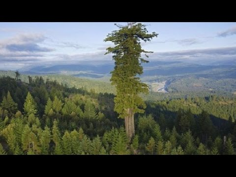 17 BIGGEST Trees in the World