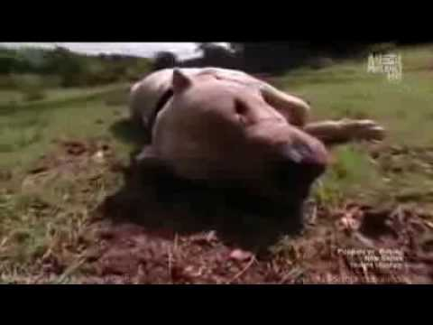 Dogo Argentino Morocho saves 2 girls from Puma attack