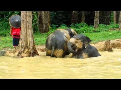 Xxx Mp4 Asian Elephants Having A Mud Bath Elephant Hills Khao Sok Thailand July 2015 3gp Sex
