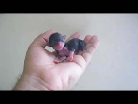 Amazing Newborn Teacup Chihuahua Chihuahua de Bolsillo Recien Nacido