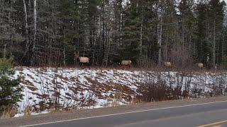 A Line of Elk || ViralHog