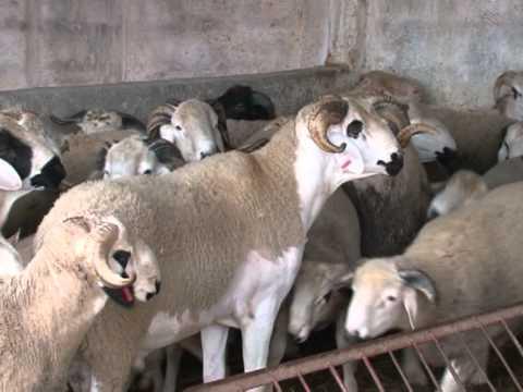 Marroquíes pueden comprar por internet corderos para Eid Al Adha