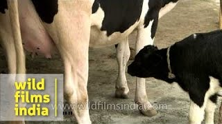 Cow ready to milk and feed baby