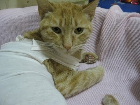 Mi gatita Ginger después de su esterilización