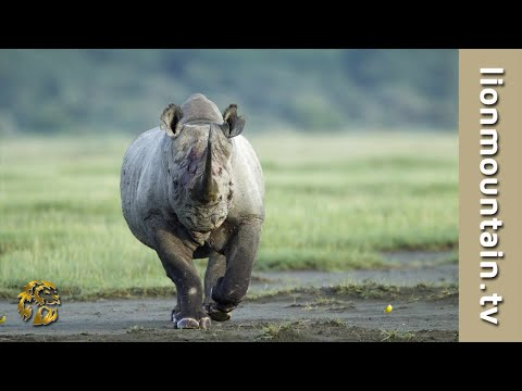 Black Rhino RAGE Black Rhino ATTACK Male Lion EXCLUSIVE Footage Caught in the Act