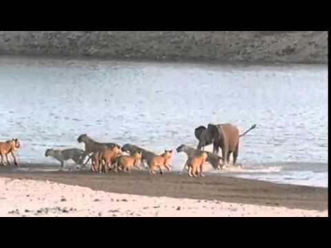 Xxx Mp4 Young Elephant Survives Attack By 14 Lions जिंदगी की जंग में जीता हाथी का बच्चा 3gp Sex