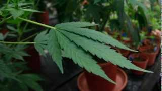 Jamaican Police Burn 15,000 Pounds of Marijuana