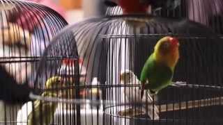 SUARA BURUNG : Lovebird Kores Belajar Bersama Ngekek Panjang