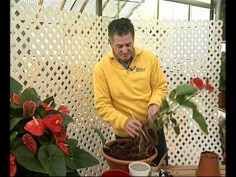 El jardinero en casa Anturios